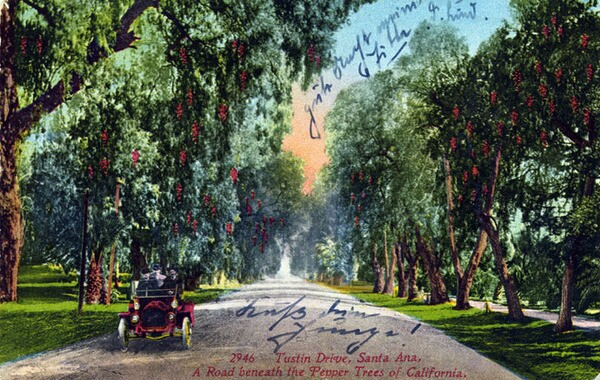Santa Ana's Tustin Drive was another well-known planting of pepper trees. Courtesy of the Santa Ana History Room Photograph Collection, Santa Ana Public Library.