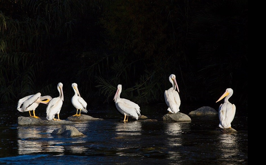 American White Pelicans: LA River Birds