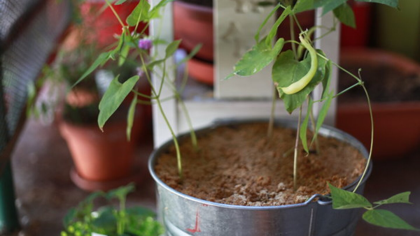 This garbage pail now grows beans