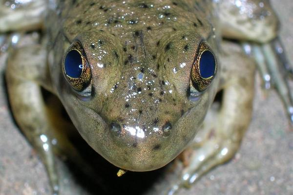 invasive-bullfrog-8-6-14-thumb-600x399-78787