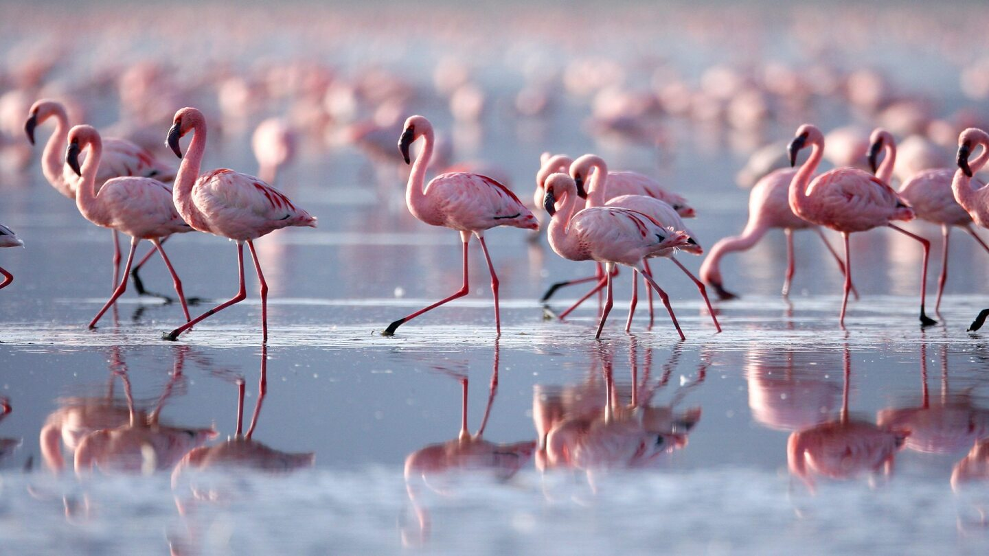 """A sea of flamingos traverse across a shallow body of water. 