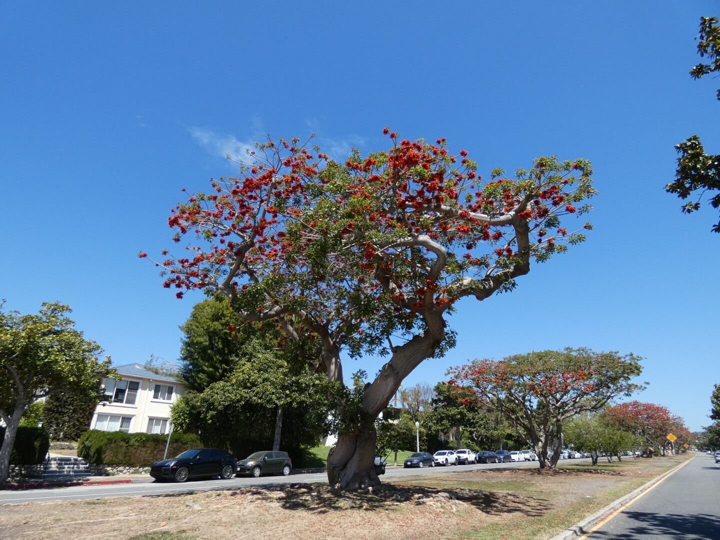Along San Vicente Boulevard between 26th Street and Brigham Avenue, a a stretch of coral trees along the median can be found.