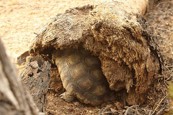 This desert tortoise has found a temporary resting place in a fallen Joshua Tree stump. | Photo: Courtesy David Lamfrom.