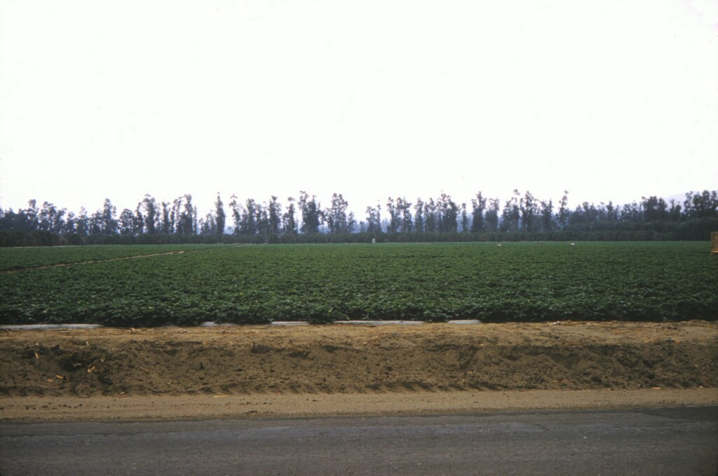 Eucalyptus trees form a barricade against the wind on an Anaheim farm, 1961. Courtesy of the Orange County Archives.