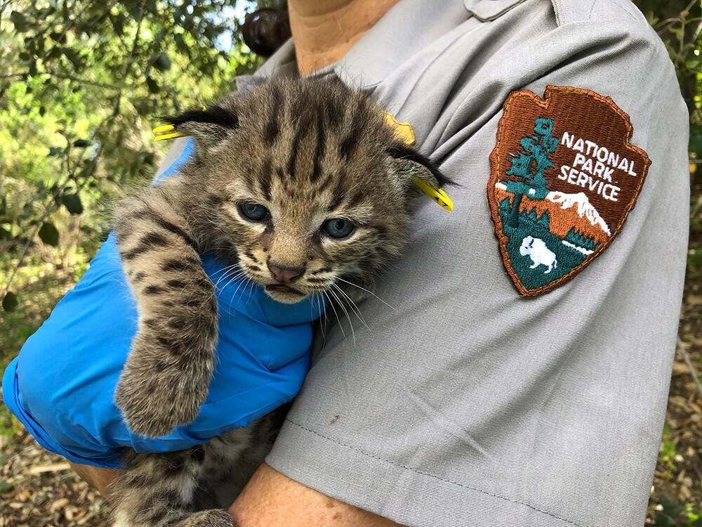 Bobcats - Westlake Village - Four Kittens