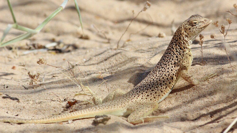 Mojave fringe-toed lizard | Photo: Tom Benson, some rights reserved