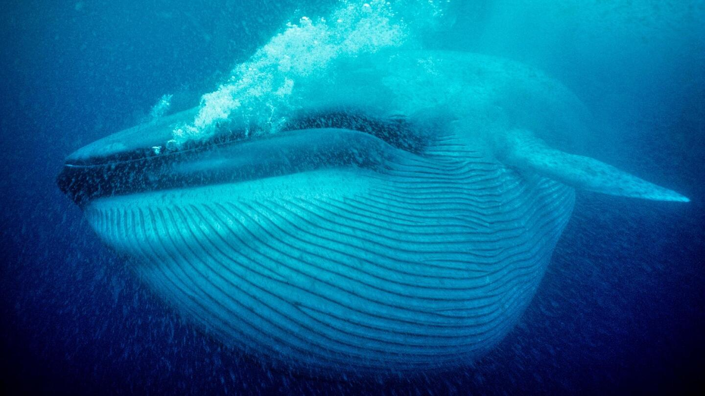 """A whale underneath the water.   From """"Nature: Nature's Biggest Beasts"""""""