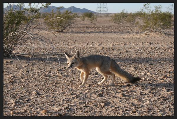 Desert-kit-fox-2014-01-28-thumb-600x404-67662