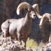 bighorn-image-le-hayes-thumb-600x300-69093