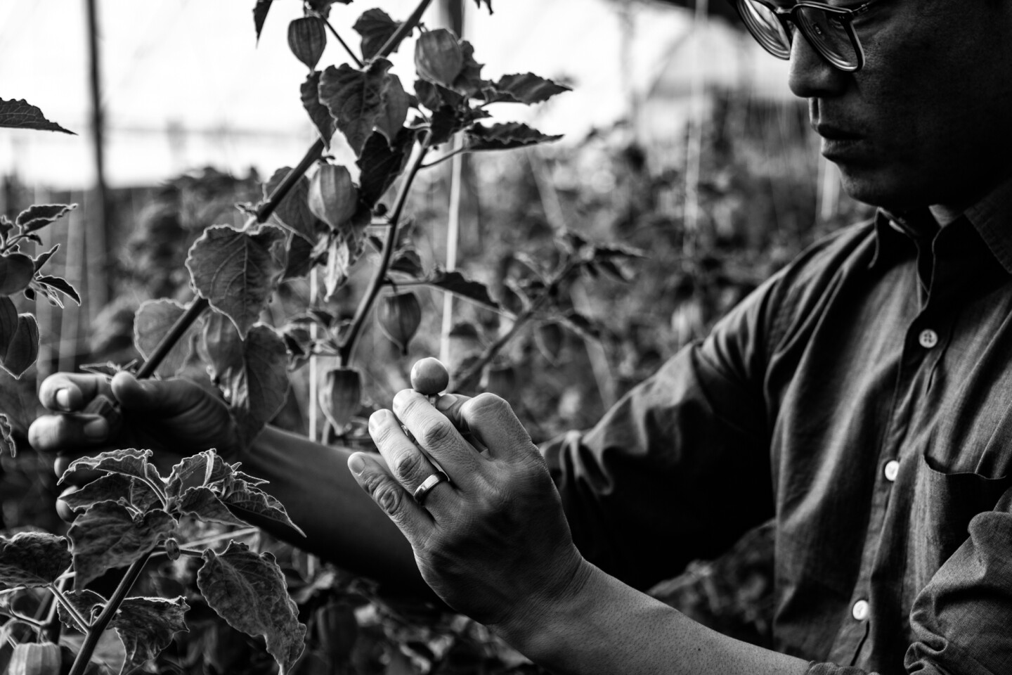 Aaron Choi harvests pichuberry for his fresh produce boxes, a variety of vegetables from his farm.