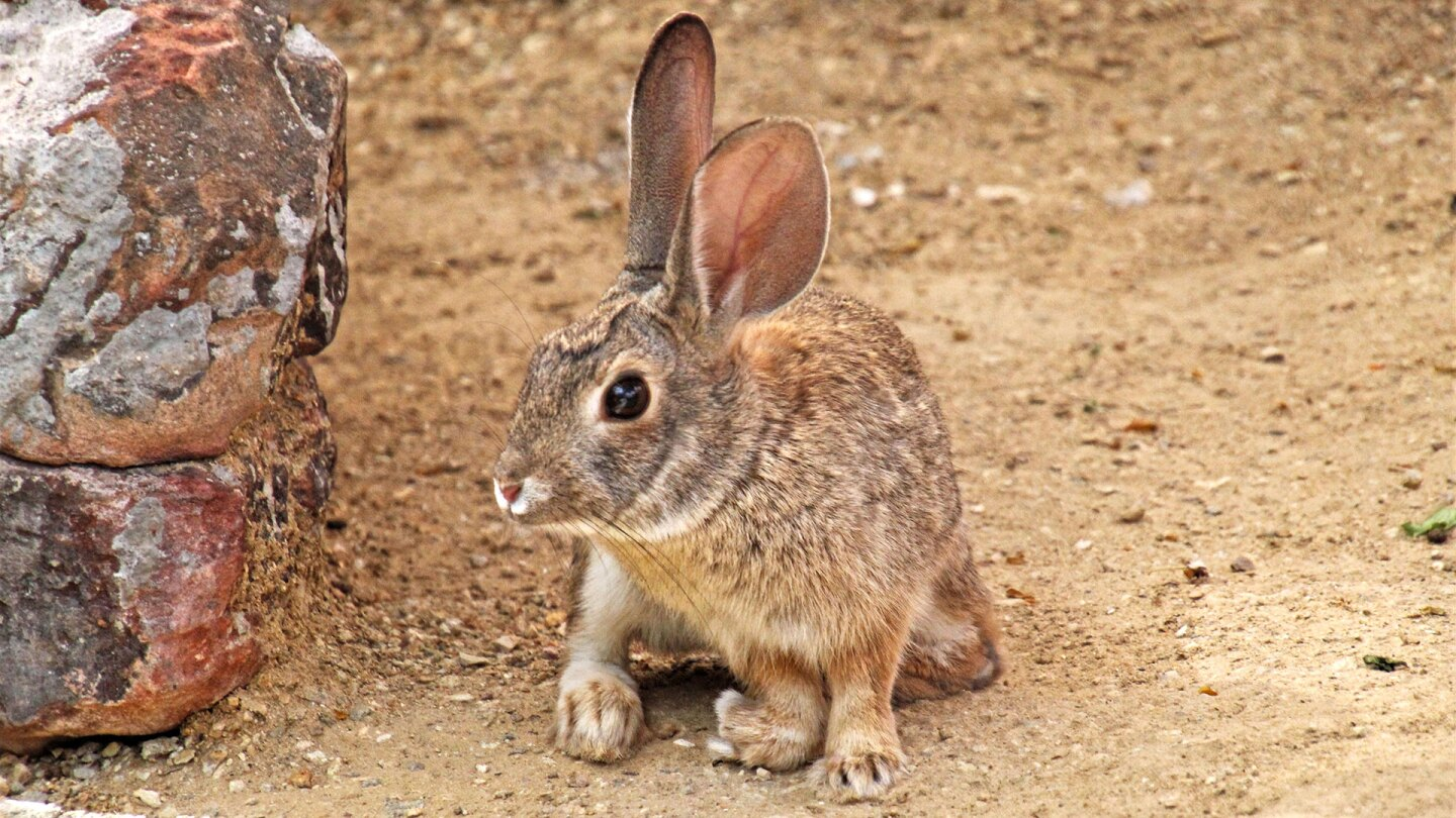 This desert cottontail was dropped off at a rehab center with multiple injuries. He has found a home at an animal habitat. | Renee Grayson/Creative Commons