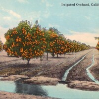Postcard of an irrigated orange orchard