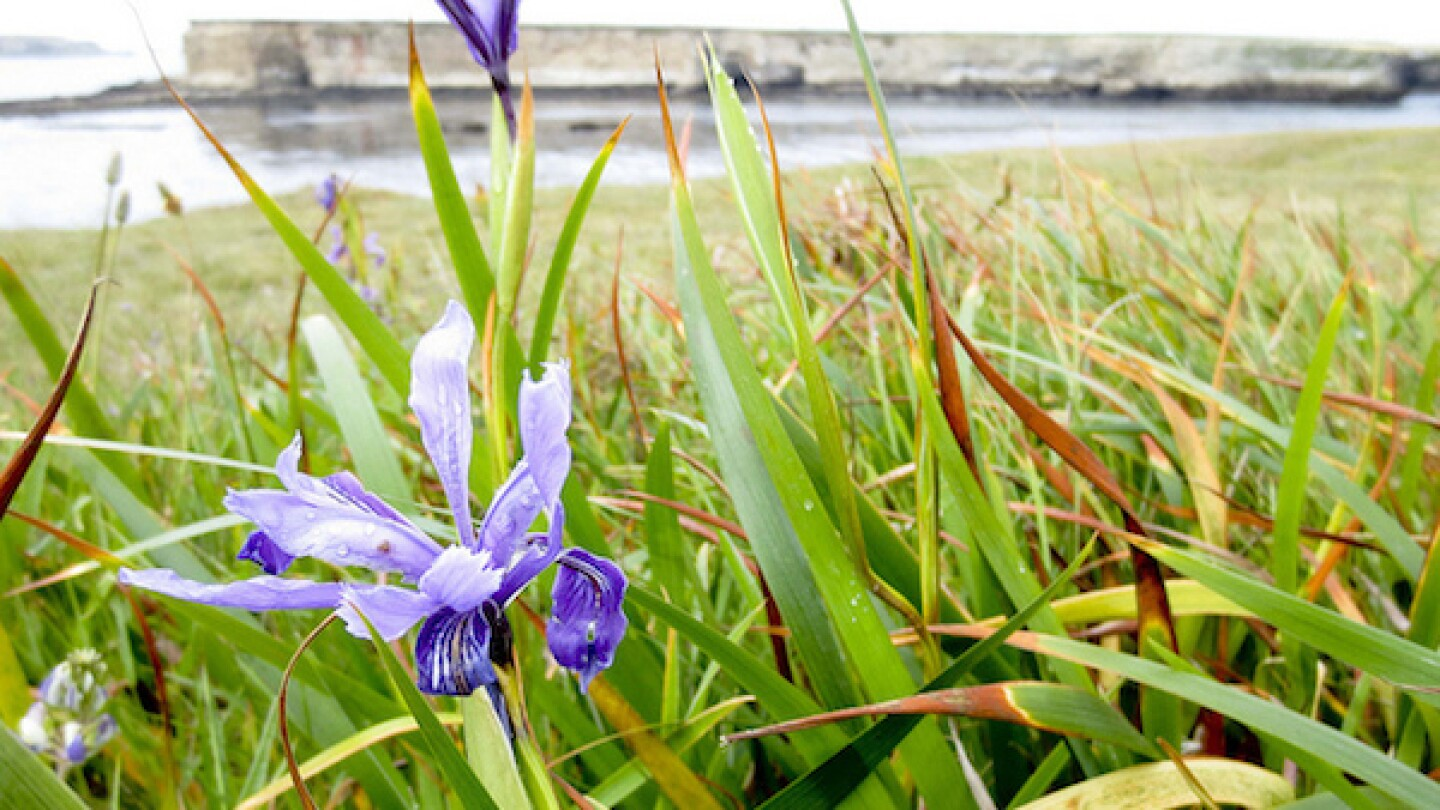 Wild Iris in bloom at Point Arena-Stornetta Public Lands in May 2013. | Photo: Courtesy Bureau of Land Management