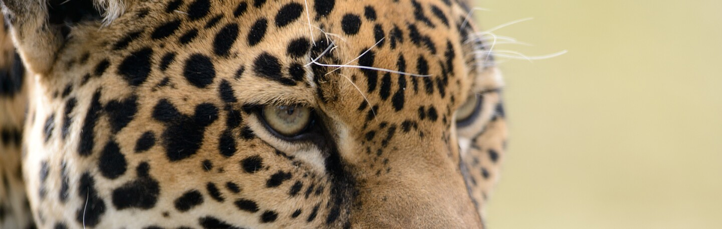 Jaguar | Photo: Eric Kilby, some rights reserved
