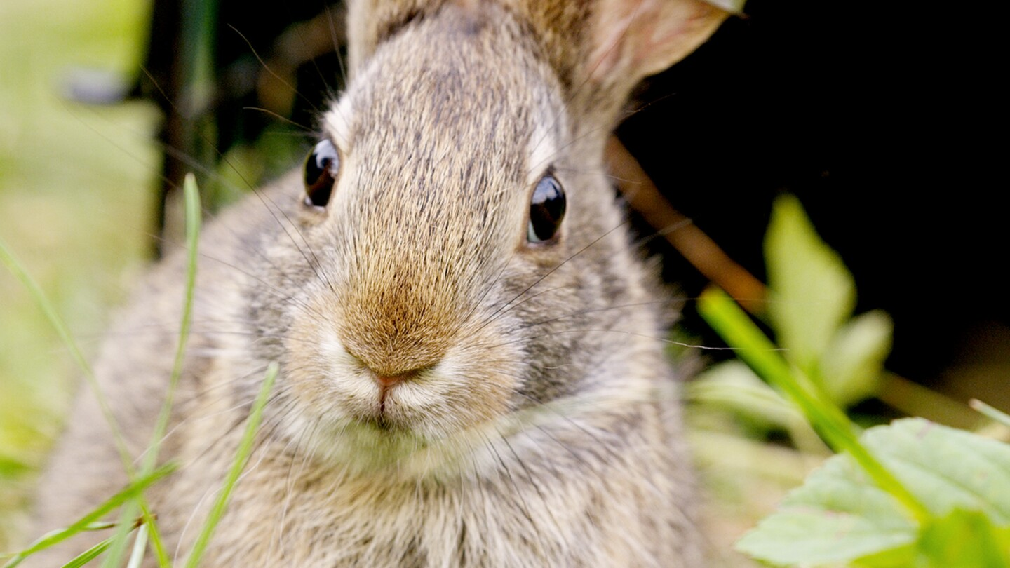 """Closeup image of a rabbit from """"Nature: Remarkable Rabbits."""""""