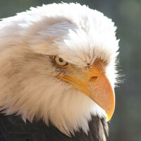 Bald eagle glaring at you