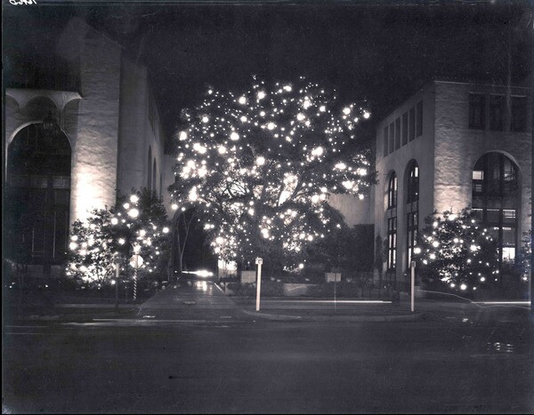 The Auto Club celebrates the presence of its majestic Moreton Bay fig each winter by decorating it for the holidays. Courtesy of the Automobile Club of Southern California Archives.