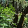 Trees damaged to make room for light to hit marijuana plants in a California national forest.   Photo: Courtesy USFS