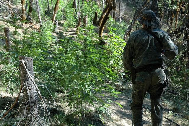 illegal-marijuana-grow-site-rat-poison