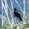 tricolored=blackbird-10-8-14-thumb-600x400-82121