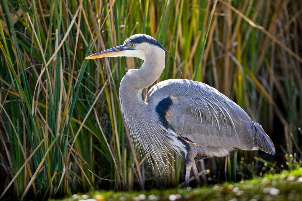 border-blue-heron-3-4-16.jpg