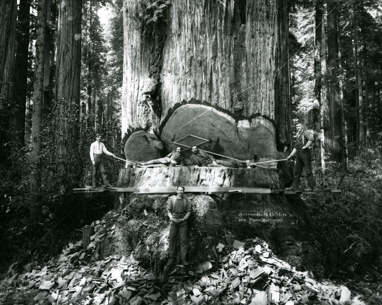 Posing inside a redwood tree