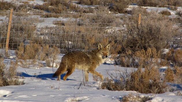 utah-coyote-1-5-15-thumb-630x354-86009