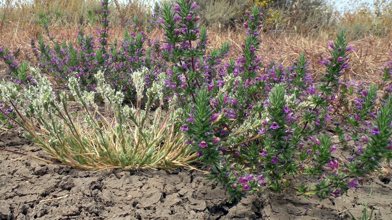 Otay Mesa mint, on right, shown with California orcutt grass | Photo: USFWS