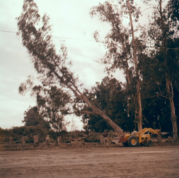 Workers fell a eucalyptus windbreak in the 1950s. Photo courtesy of the Orange County Archives.