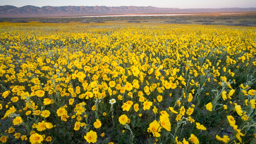 Yellow flowers at Carrizo Plain   Photo: Bob Wick/BLM
