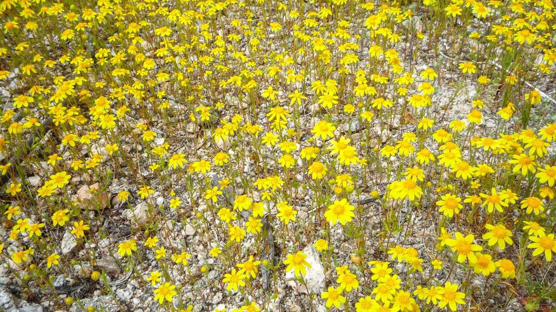 Goldfields yellow flowers