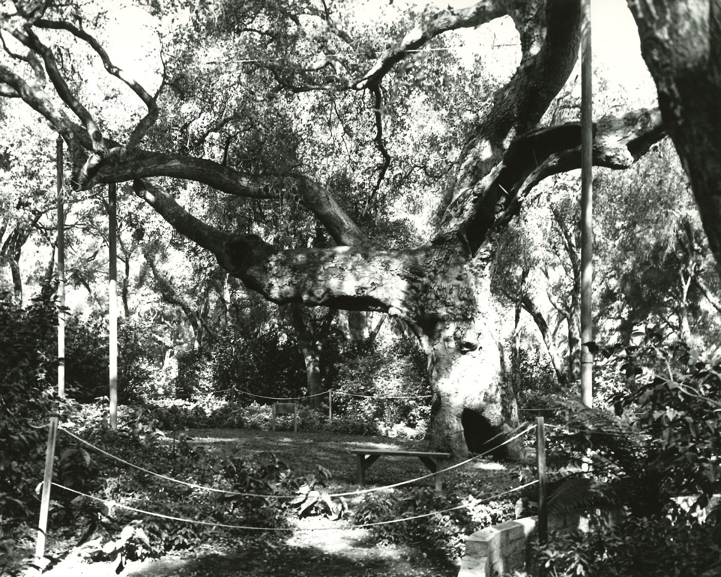 Descanso Gardens' Old Verdugo, before its demise