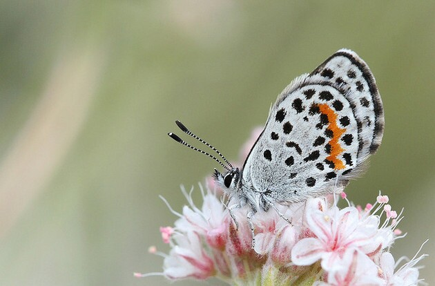 square-spotted-blue-3-23-15-thumb-630x414-89921