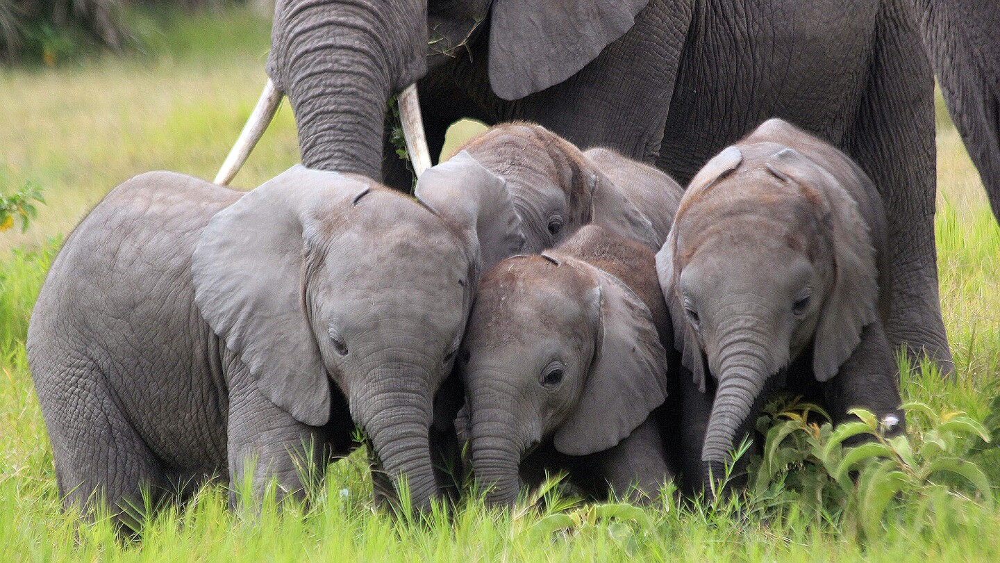 Elephant Calves
