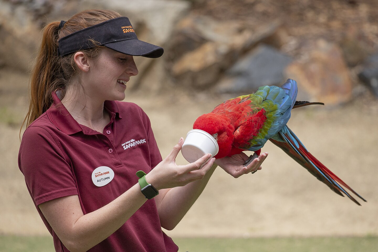A Macaw eats food while perched on handler. | Taken on March 25, 2020 by Tammy Spratt/San Diego Zoo