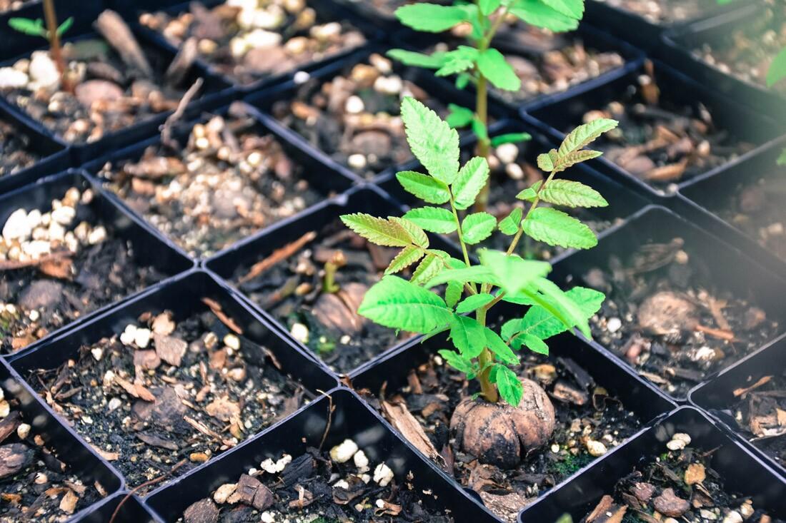 Walnut Seedling