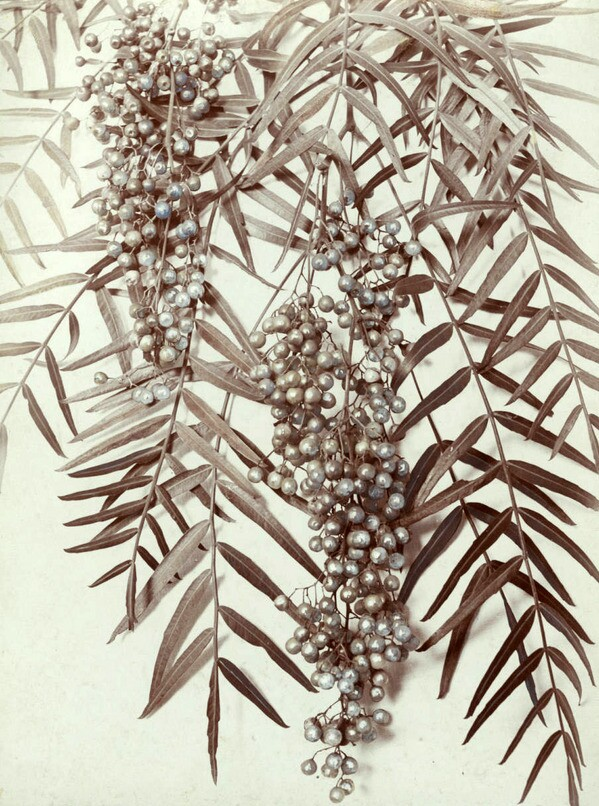 Close-up view of the leaves and fruit of the Peruvian pepper tree. Courtesy of the USC Libraries - California Historical Society Collection.