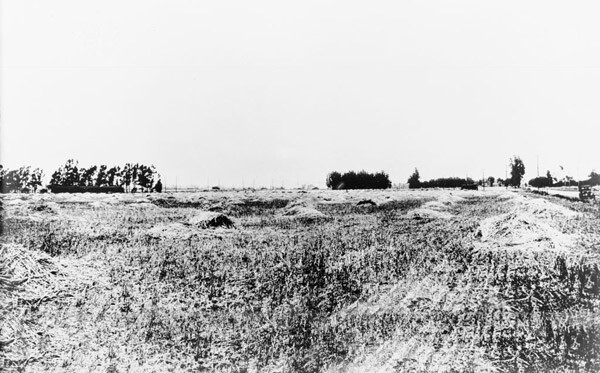 Barley fields at the site of Culver City in 1913. Courtesy of the Title Insurance and Trust / C.C. Pierce Photography Collection, USC Libraries.