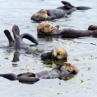 Sea Otters (1)