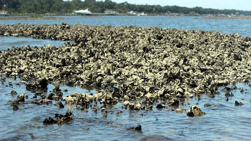 Like coral reefs, wild oyster beds provide habitat for many other marine species. And like corals, oysters are threatened by ocean acidification. | Photo: iStock/Pam Schodt