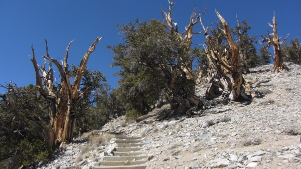 A staircase along the Discovery Trail in Schulman Grove. | Photo: Zach Behrens/KCET