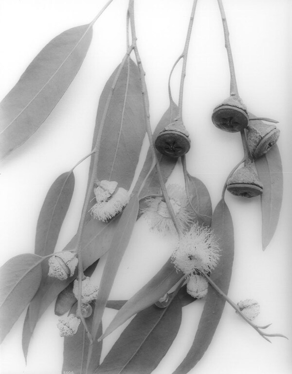 Eucalyptus flowers and opercula. Courtesy of the Title Insurance and Trust / C.C. Pierce Photography Collection, USC Libraries.
