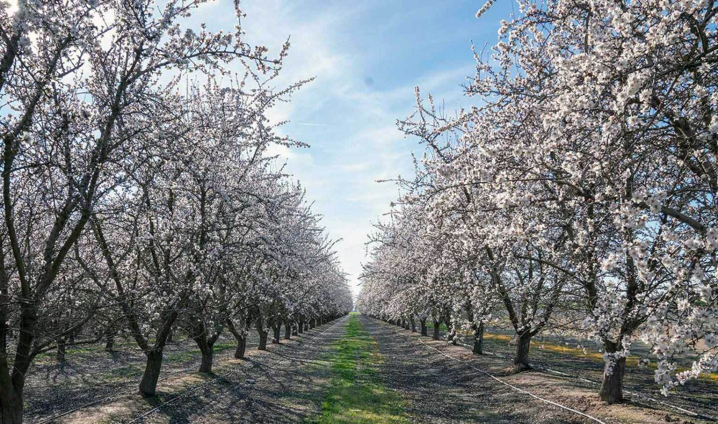 Rows of blooming almond trees in Central Valley. | Carla Pineda