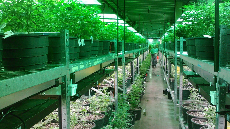 Marijuana growing operation