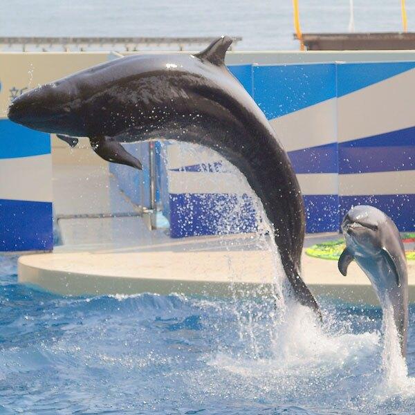 False killer whale swimming with bottlenose dolphin
