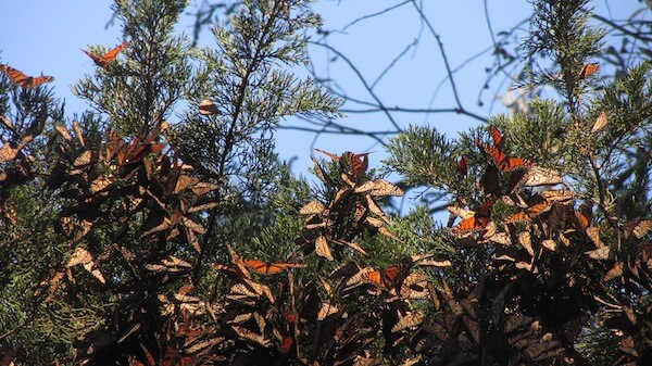 As the sun shines, some monarchs break away from a cluster at  Pismo Beach Monarch Grove in early December 2010 | Photo by Zach Behrens/KCET