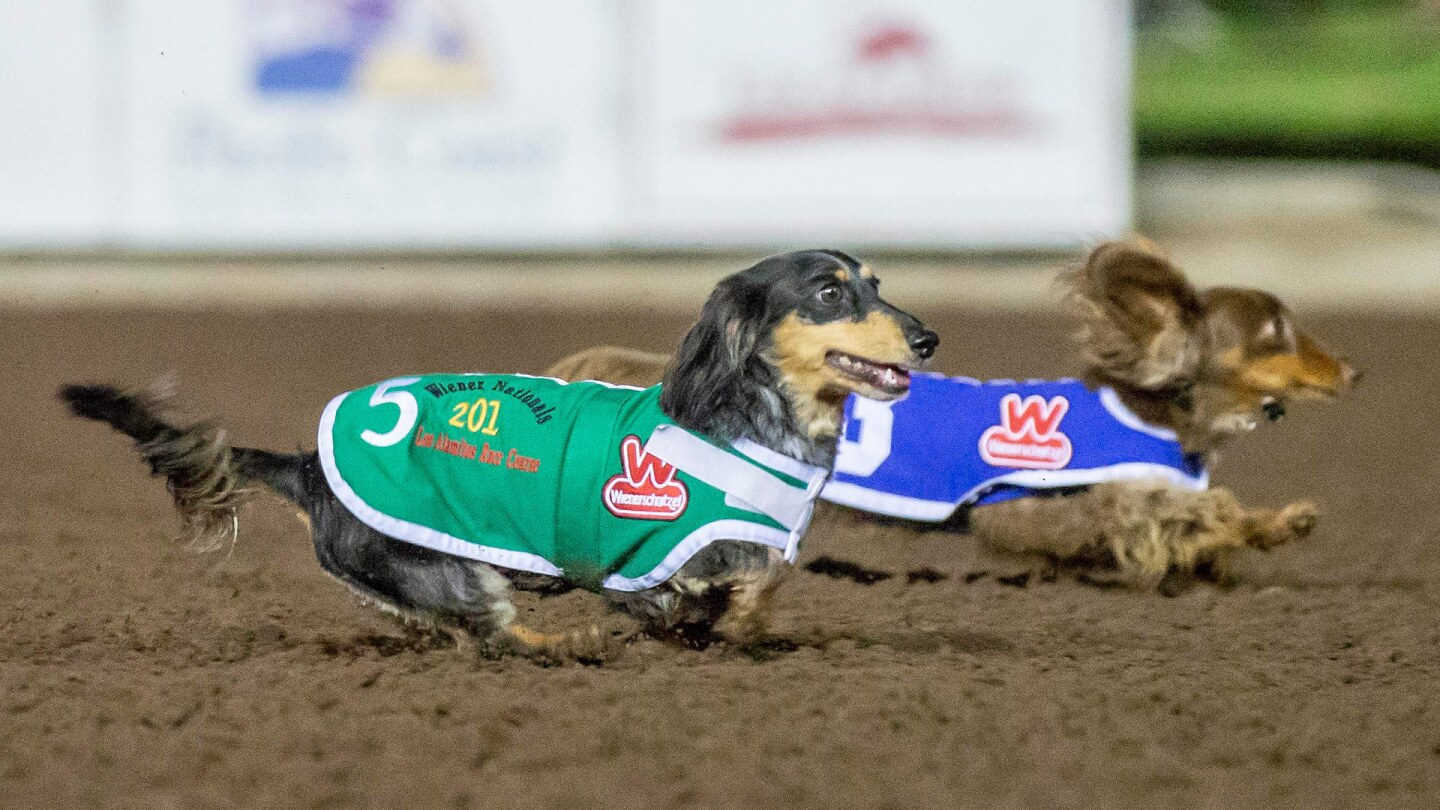 Wiener dogs number 5 and 3 race at the Los Alamitos Race Course.