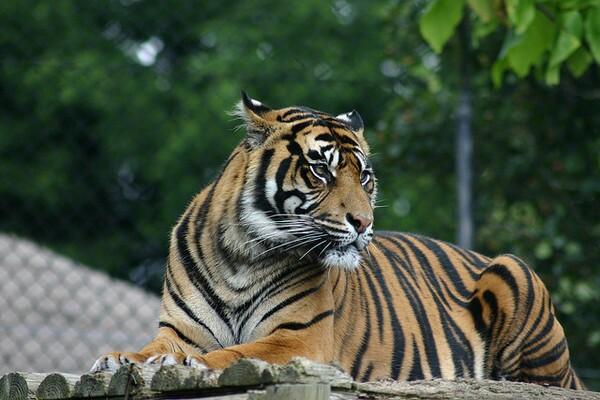 tiger-6-10-14-thumb-600x400-75368