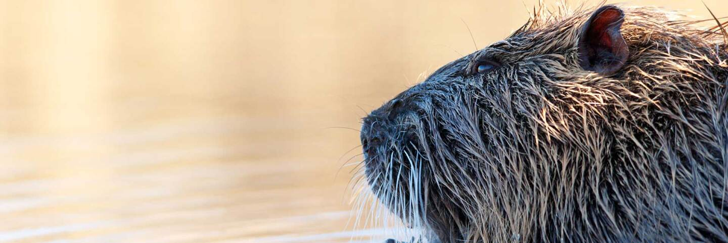 Nutria in water | f/orme Pet Photography/Flickr/CC BY-SA 2.0