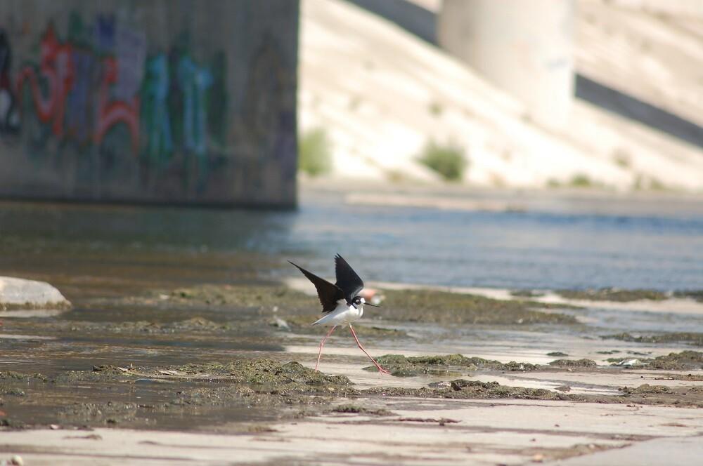 LA River Birds: Blacknecked Stilt